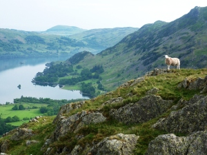Ullswater Sheep Photo © Rob Shephard