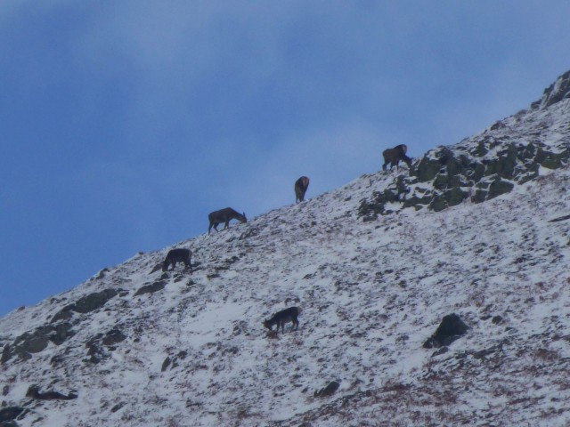 Red Deer on Place Fell