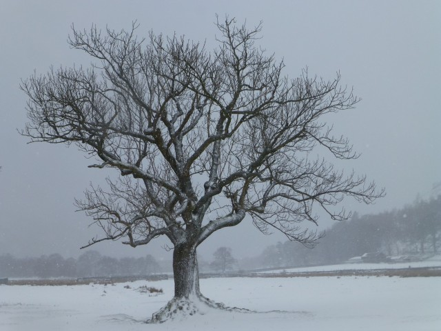 Patterdale Tree