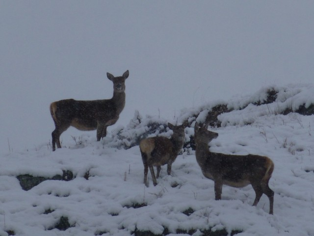 Snow Deer on Place Fell