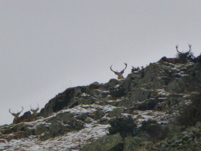 Stags on Place Fell