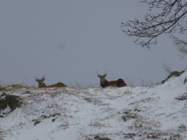 Stag on Place Fell