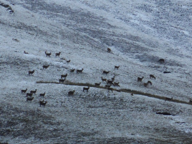 Red Deer on Place Fell in the Snow