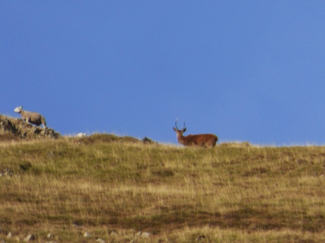 Red Deer often seen above Greenside - but for hom much longer?
